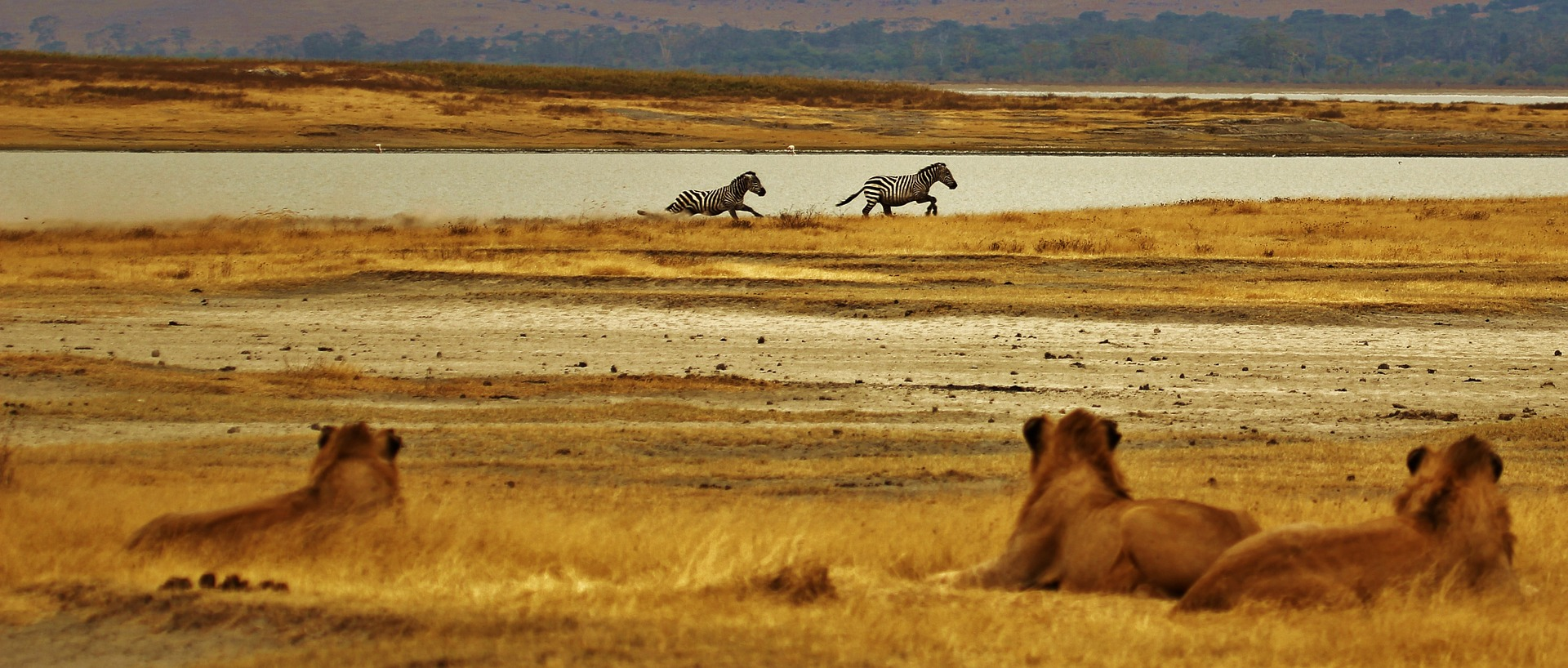 A zebra és az oroszlánok